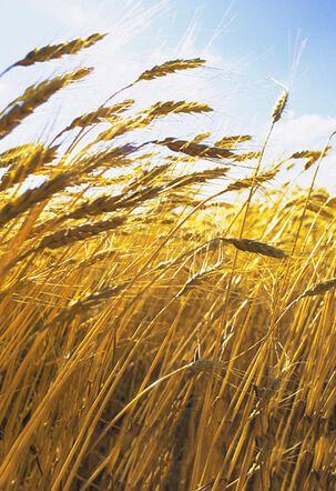 Field of Wheat Sympathy Card