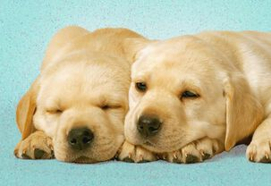 Happy Puppies Love Card