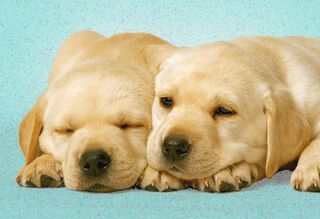 Happy Puppies Love Card,