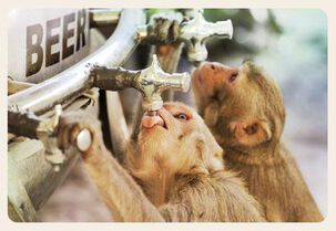 Monkeys Tap Keg Funny Birthday Card