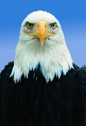 Bald Eagle Funny Birthday Card