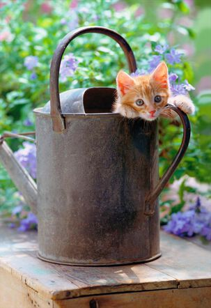 Kitten in Watering Can Blank Card
