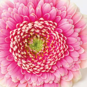Pink Gerbera Daisy Blank Just Because Card