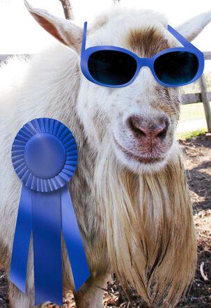 Blue Ribbon Goat Funny Congratulations Card