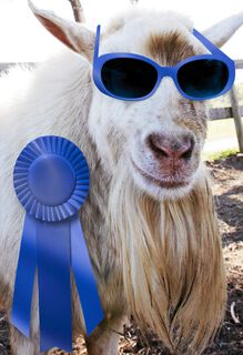 Blue Ribbon Goat Funny Congratulations Card,
