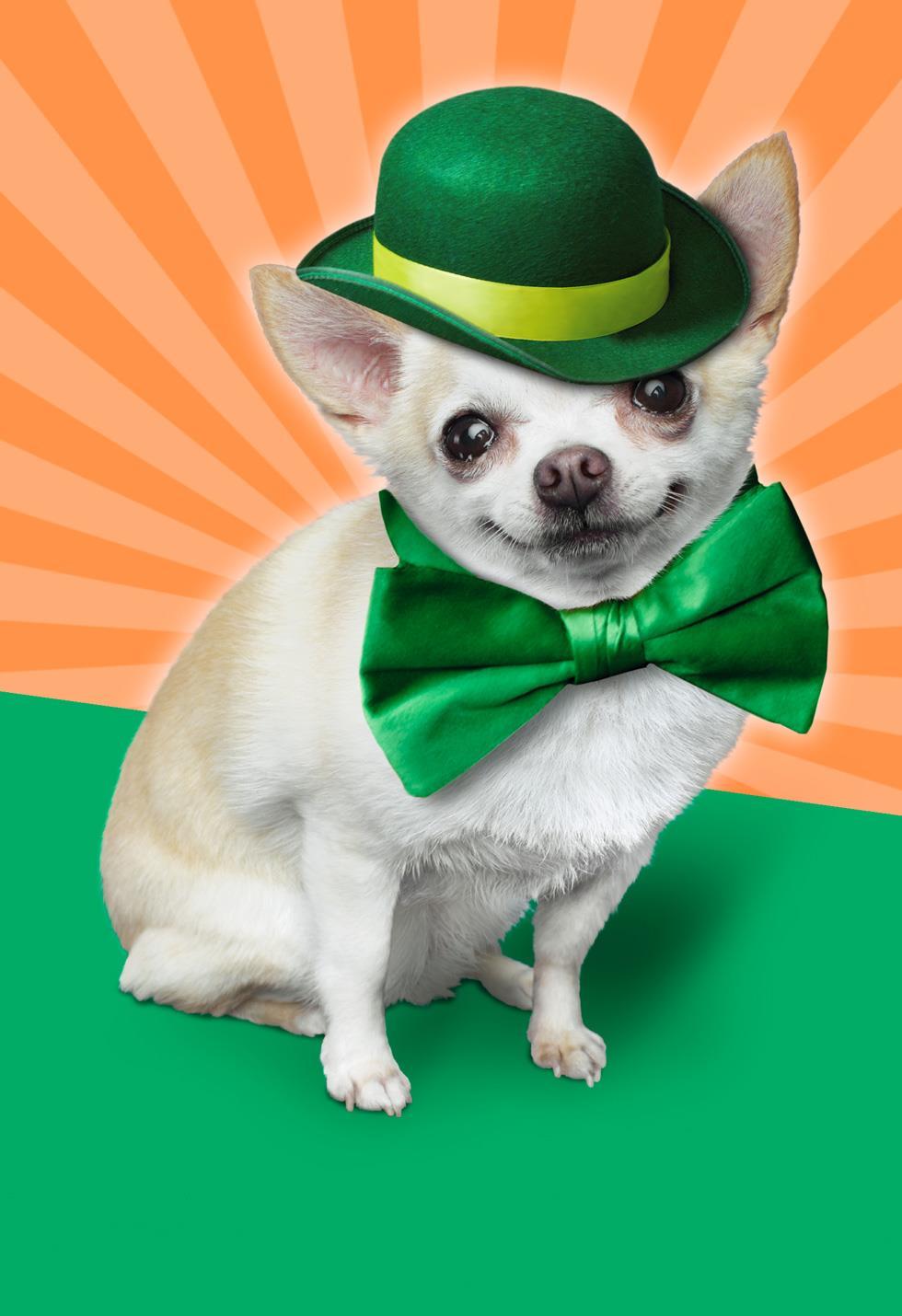 chihuahua leprechaun st  patrick u0026 39 s day musical card